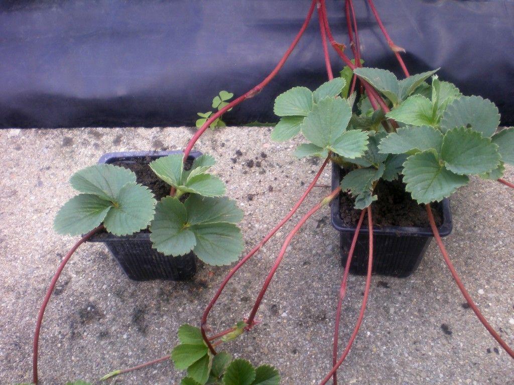 faire des plants de fraisiers comment fabriquer une tour. Black Bedroom Furniture Sets. Home Design Ideas
