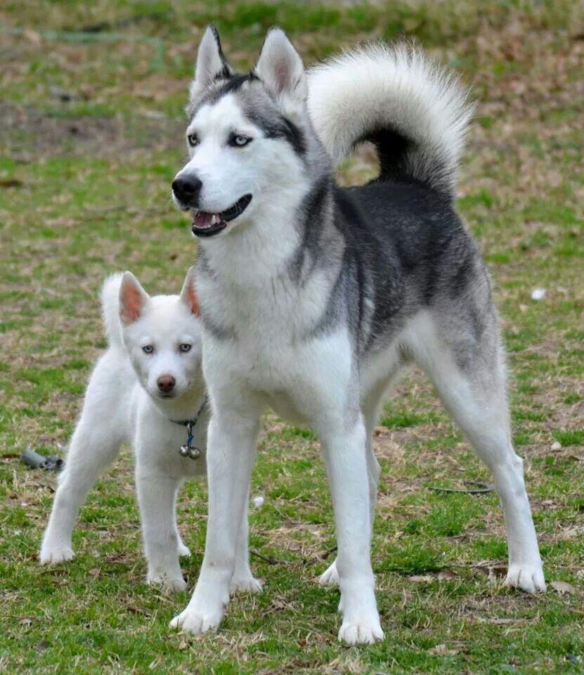Wolfgang And Bae Siberian Husky Husky Pet Husky Breeds