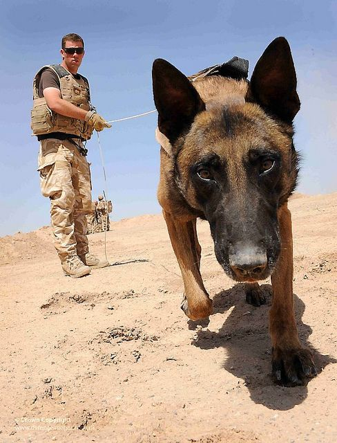 Army Dog Handler And Dog At Work In Camp Bastion Afghanistan