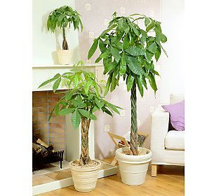 Robertas Braided Money Tree With Hawaiian Magic Qvc Com Money Tree Plant Money Trees Indoor Trees