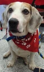 Paco is an adoptable Beagle Dog in Palatine, IL. Paco is a 9 year old beagle that is very sweet. He loves toys, is housebroken, gets along with both cats and dogs, and loves long walks. Paco knows sit...