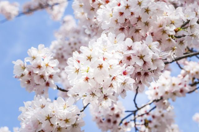 11 Stunning Photos Of Cherry Blossoms Just In Time For Spring Bloom Blossom Cherry Flower Blossom
