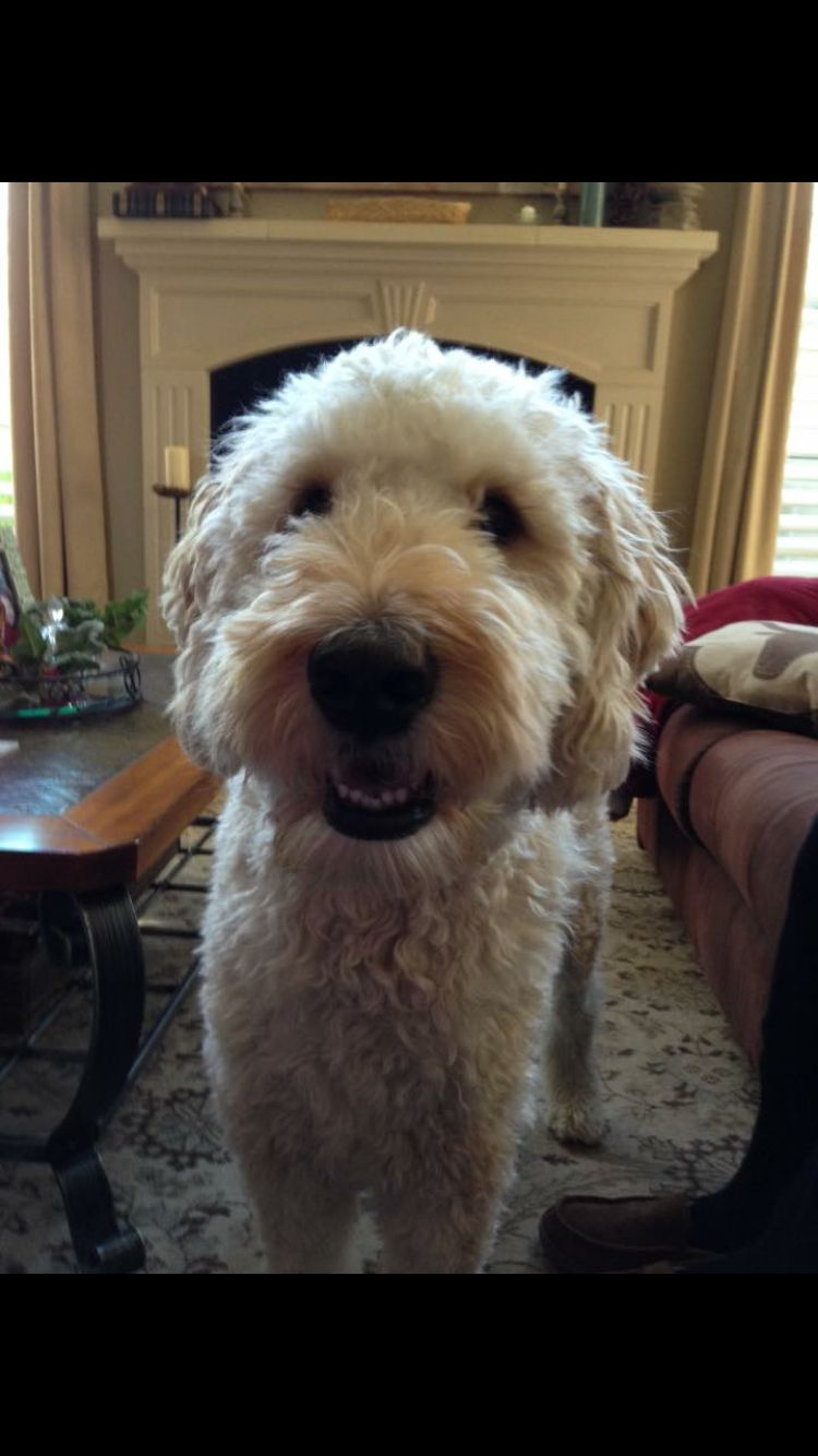 short ears and short haircut on a goldendoodle