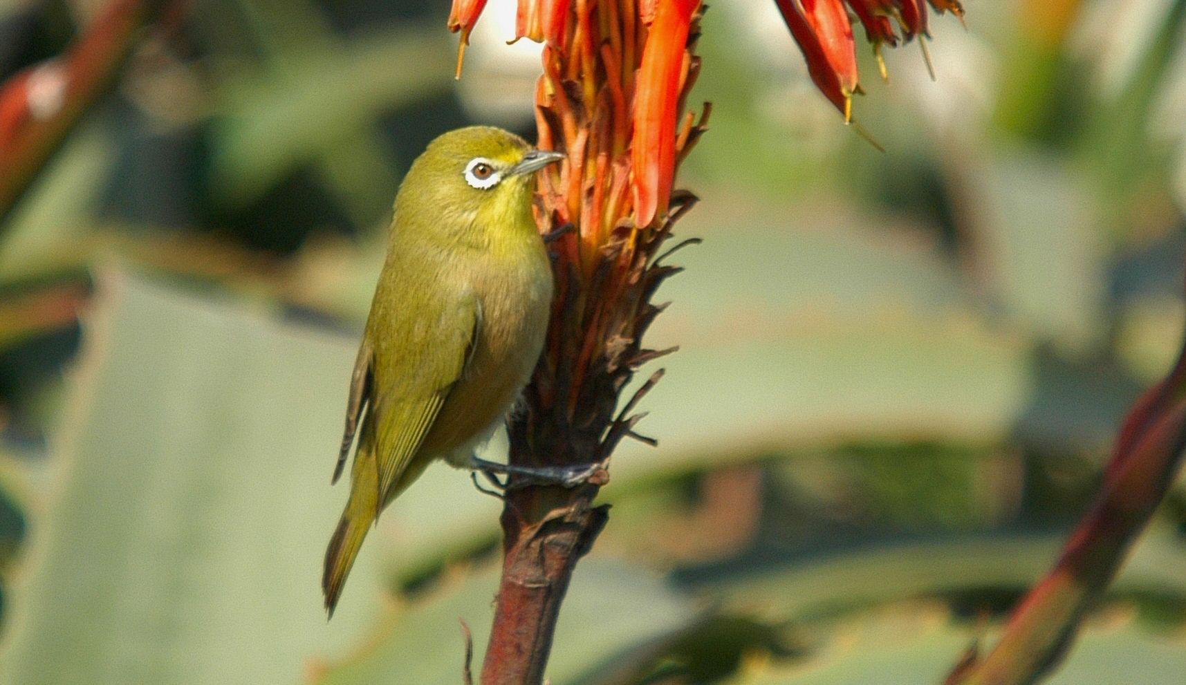 7401a. Pale White-eye (Zosterops pallidus)   South Africa, Namibia