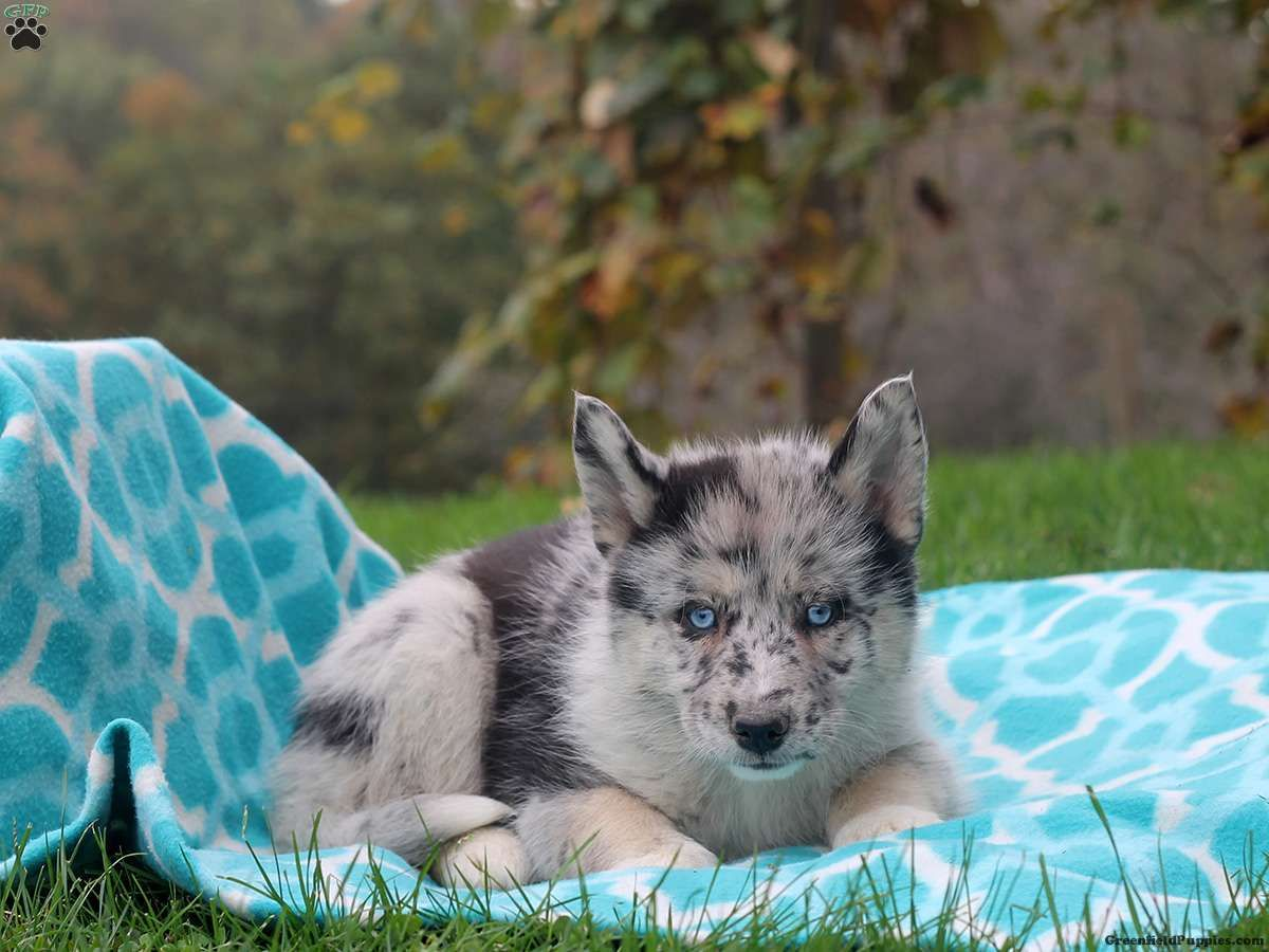 Bianca Mini Pin Mix Puppy For Sale From Lancaster Pa Pomsky Puppies Puppies Puppies For Sale
