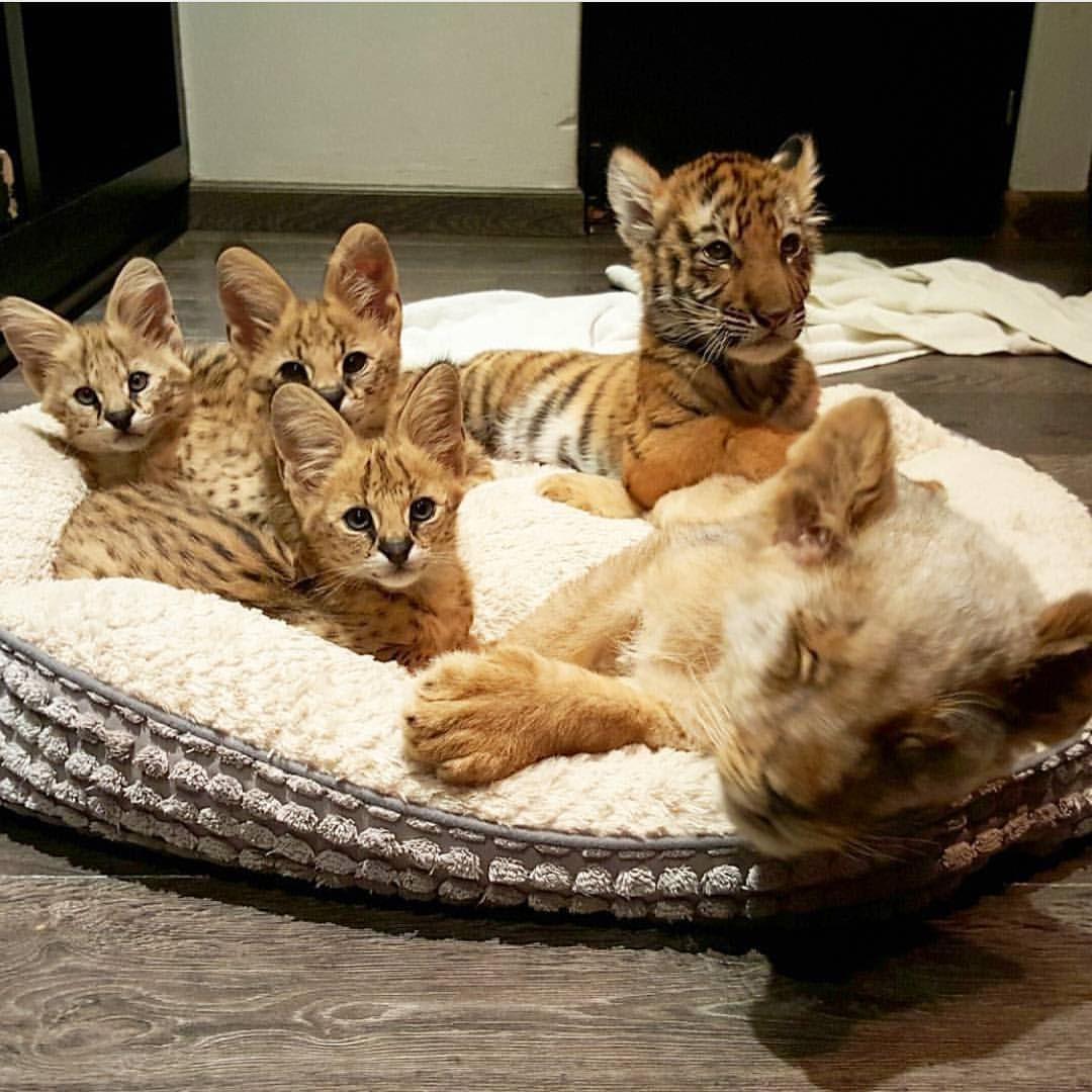 3 servals, 1 tiger, and 1 lion