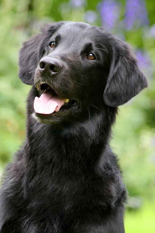 Bekend Flatcoated Retriever - Flatcoat retriever   Pinterest - Honden  WT95