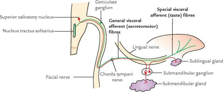 nerve supply of salivary glands of mouth    the lingual nerve is a branch  of the mandibular division of the trigeminal nerve (cn v3)