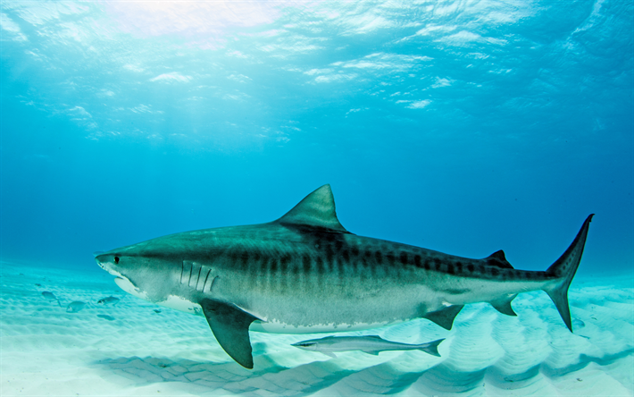 Download Wallpapers Tiger Shark 4k Underwater World Sea Bottom Predator Sharks Save Sharks Squalo Animali Predatore