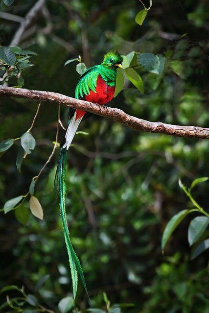 World\u0027s Most Beautiful Bird \u201cResplendent Quetzal\u201d
