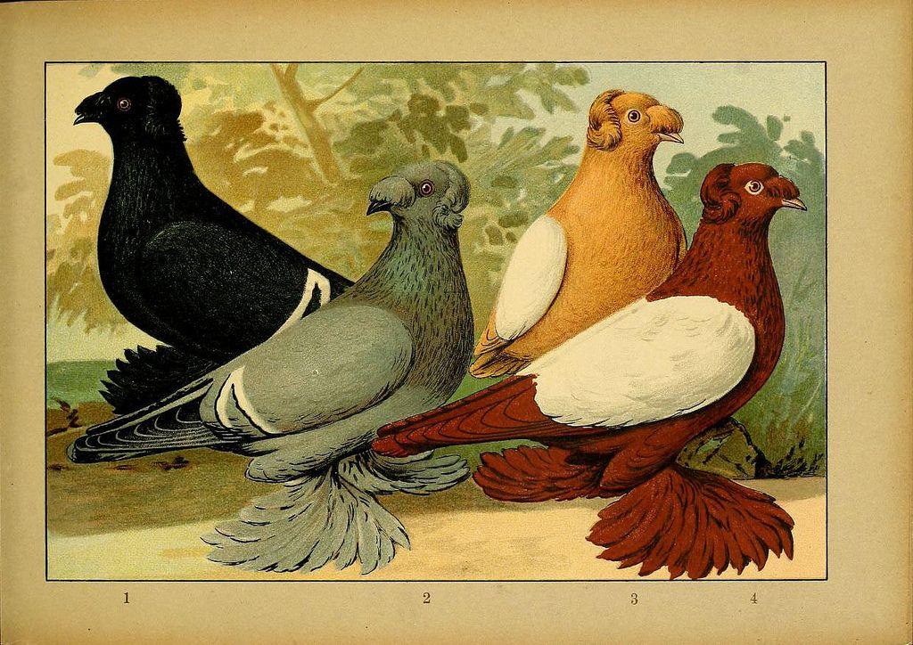Witzmann Bokhara Trumpeters Pigeon Glossy Textured Print C