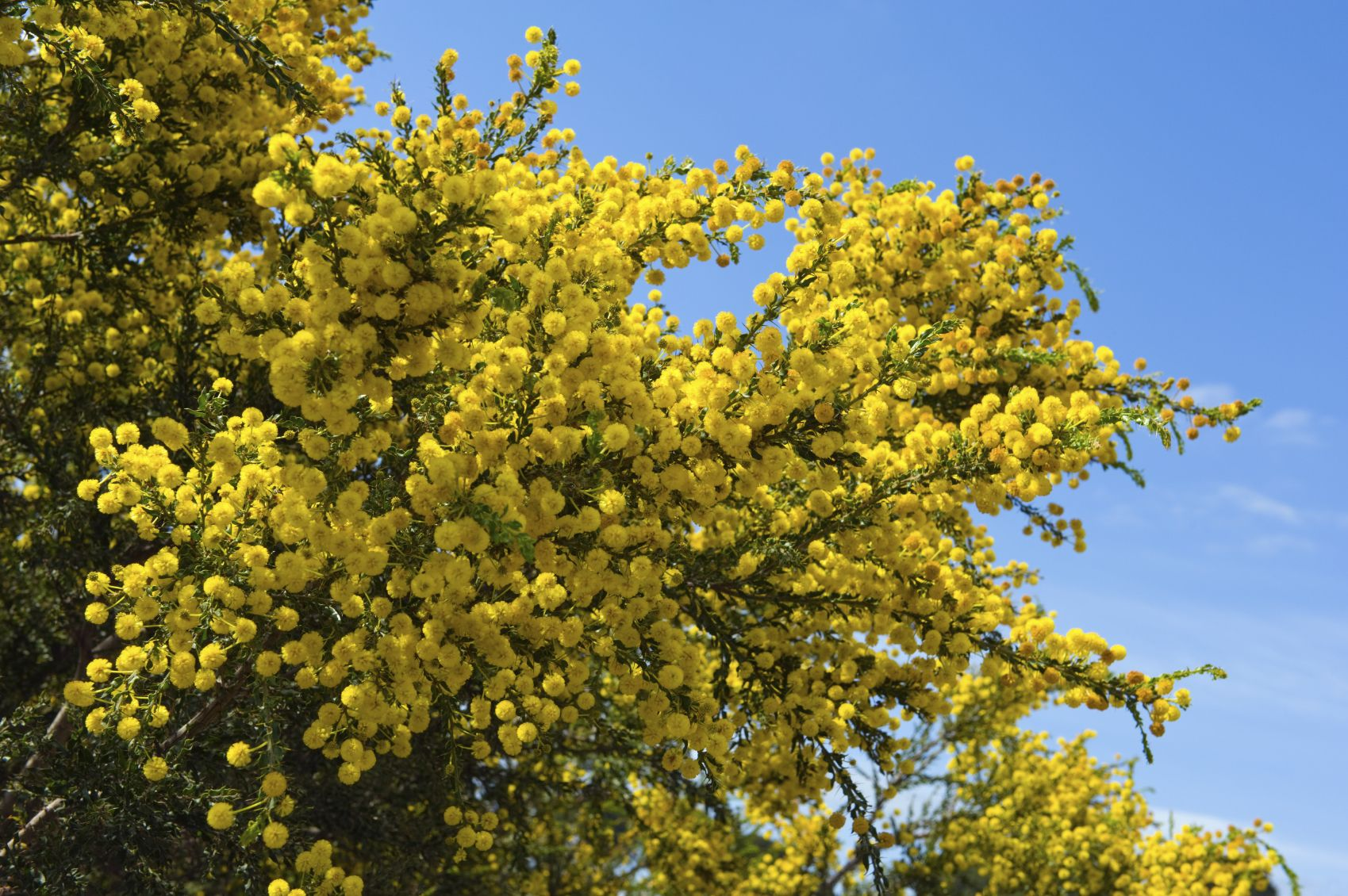 Acacia Tree Care Information About Acacia Tree Types Acacia Tree Tree Care Ornamental Trees