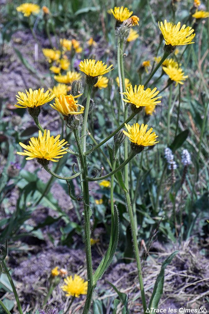 Guide Noms De Fleurs De Montagne A Voir En Randonnee Blog Outdoor Trace Les Cimes Fleurs De Montagne Noms De Fleurs Fleur Jaune Sauvage