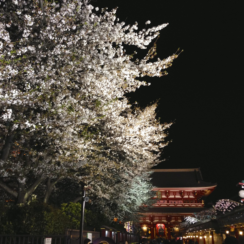 Yozakura Night Hanami In Tokyo Deepjapan Japanese Garden Plants Hanami Japanese Garden