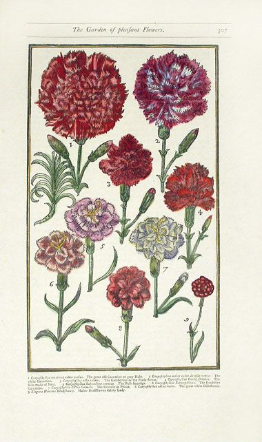 Carnation. Parkinson Paradisi in Sole botanical prints