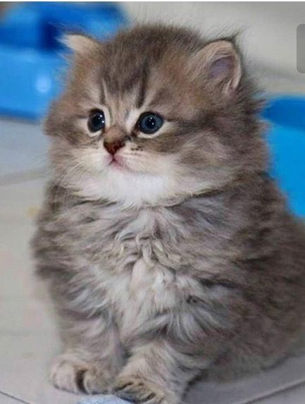 29deea42c So fluffy! What will it look like as an adult? | animals - cats ...