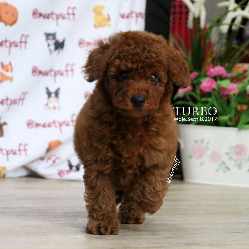 Dijual Anjing Poodle Jual Red Toy Poodle Boy Istimewa Lokasi