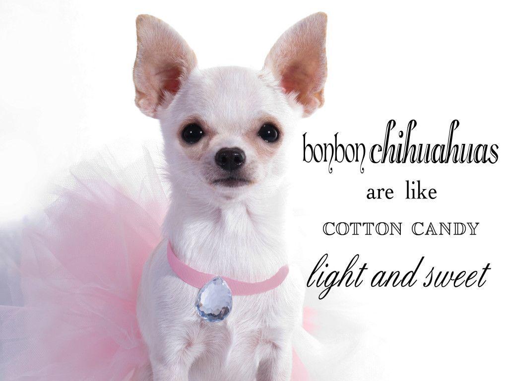 Chihuahua Cotton Candy Light And Sweet Bonbon Chihuahua Chihuahua
