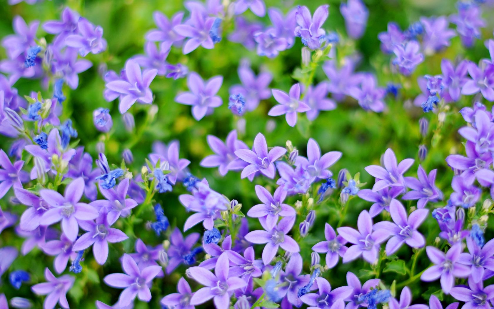 Small Pictures Of Flowers | Small blue and purple flowers 1680x1050 ...