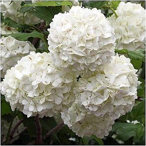 White Flower Full Sun Perennials Google Search
