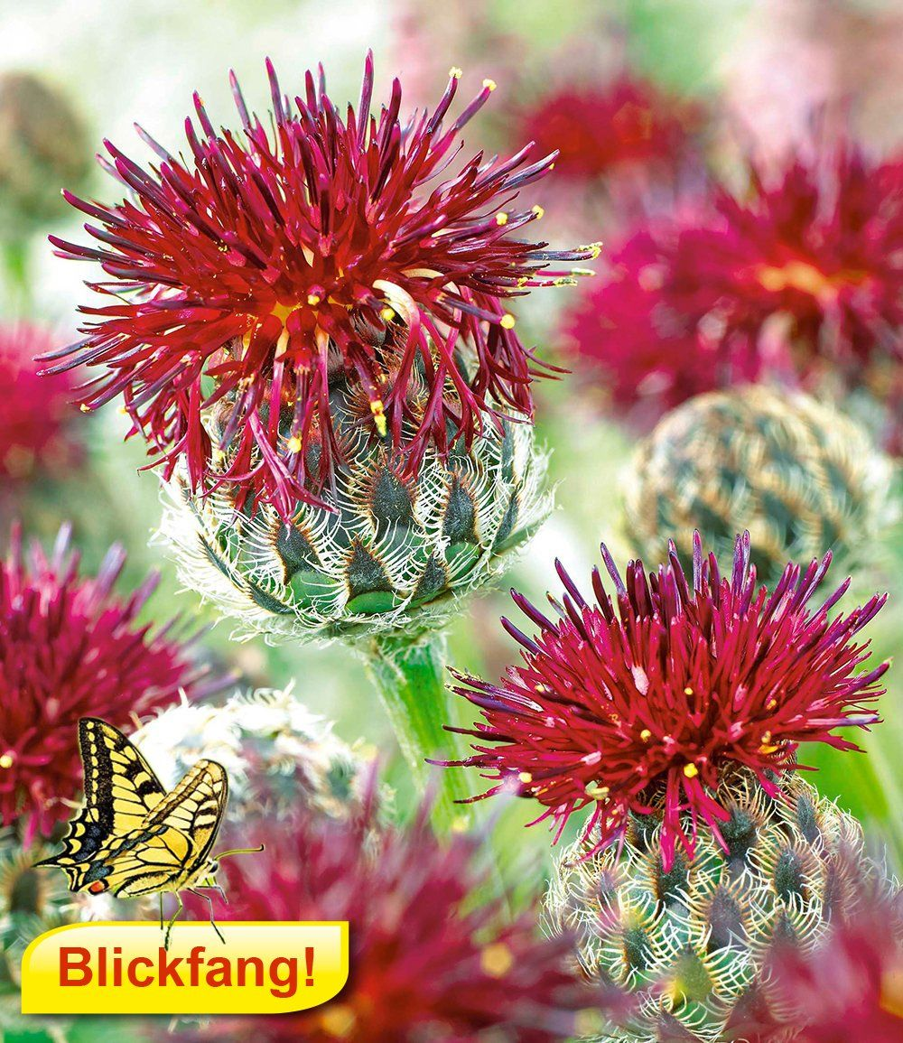 purpurrote flockenblume flowers garden pinterest flockenblume blumen und stauden kaufen. Black Bedroom Furniture Sets. Home Design Ideas