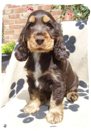 Chocolate And Gold Cocker Spaniel Spaniel Puppies Dogs Cute