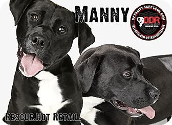 Detroit Mi Manny Male American Bulldog Lab Mix 2 Yrs Sweet Manny Fought To Stay Alive During A Detroit Kitten Adoption Adoption Staffordshire Terrier Mix