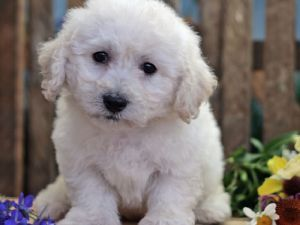 Cute And Lovely Bichon Frise Puppy Priceless Caes Animais Gatos