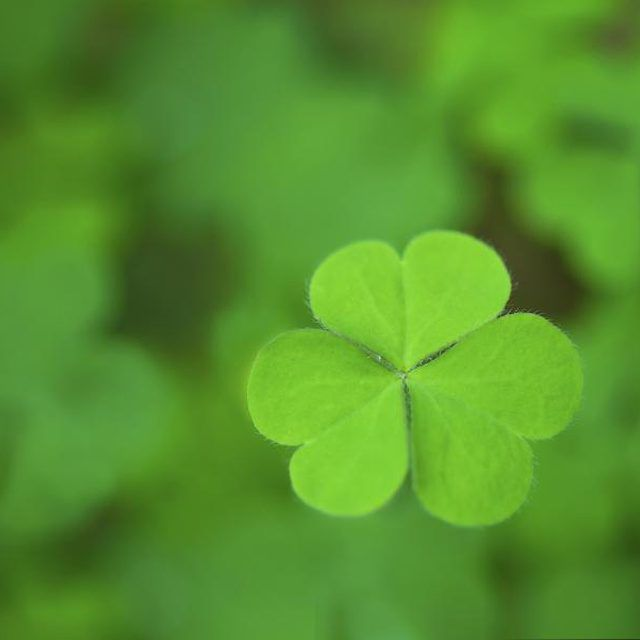 How To Take Care Of Four Leaf Clovers Clover Plant Clover Leaf