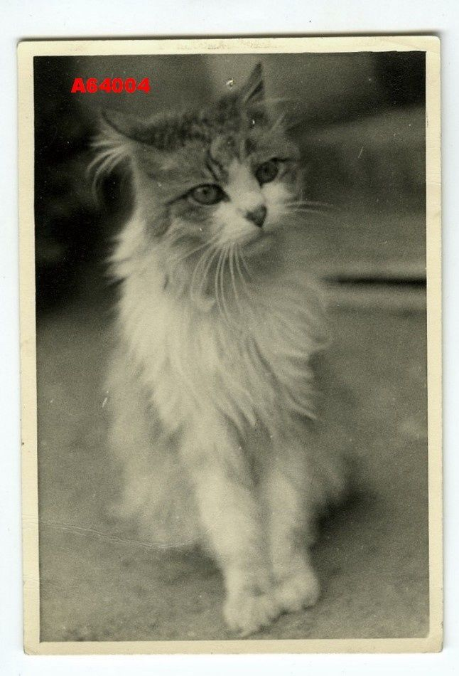 1950s VINTAGE PHOTO BEAUTIFUL CAT in Collectibles, Photographic Images, Contemporary (1940-Now), Other Contemporary Photographs | eBay