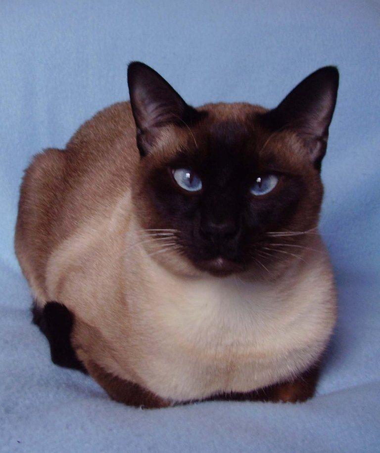 Pin by Jennifer McMaster on Siamese Pretty cats, Cat
