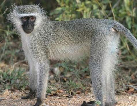 Vervet Monkey Social African Primate Vervet Monkey Monkey Pictures Primates