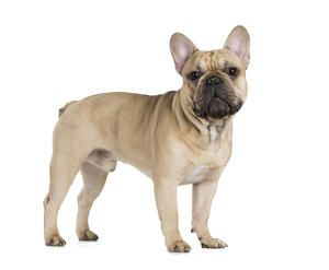 French Bulldog Dogs Breed Information French Bulldog Dog French Bulldog Bulldog