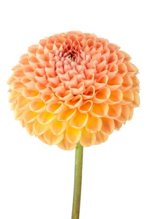 Orange And Yellow Dahlia Flower Meanings Dahlia Flower Dahlia