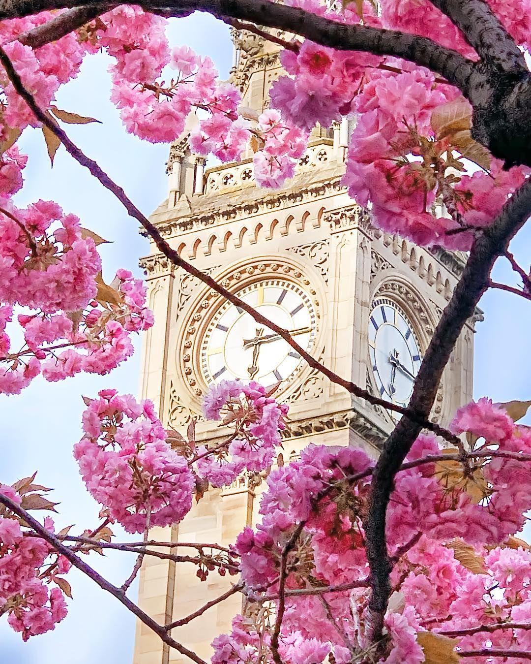 Trees In Full Bloom Near Belfast S Albert Memorial Clock Northern Ireland Uk By Nunu Sharon Cuatriz Agtawagon On Instagram Sakura Tree Sakura Bloom