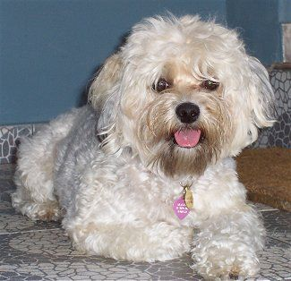 @Catherine Hannon This is a Yorkie Poo and also looks like ...