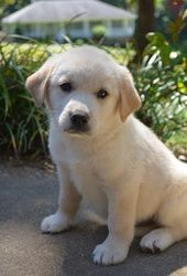 Lexie Is An Adoptable Great Pyrenees Dog In White Plains Ny Meet Lexie She Is A Beautiful 8 Week Old F Lab Mix Puppies Great Pyrenees Dog Canine Companions