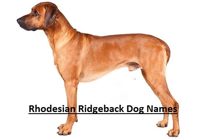150 Best Rhodesian Ridgeback Dog Names Rhodesian Ridgeback Dog Names Are You Searching For The Best Rho In 2020 Dog Names Rhodesian Ridgeback Dog Rhodesian Ridgeback