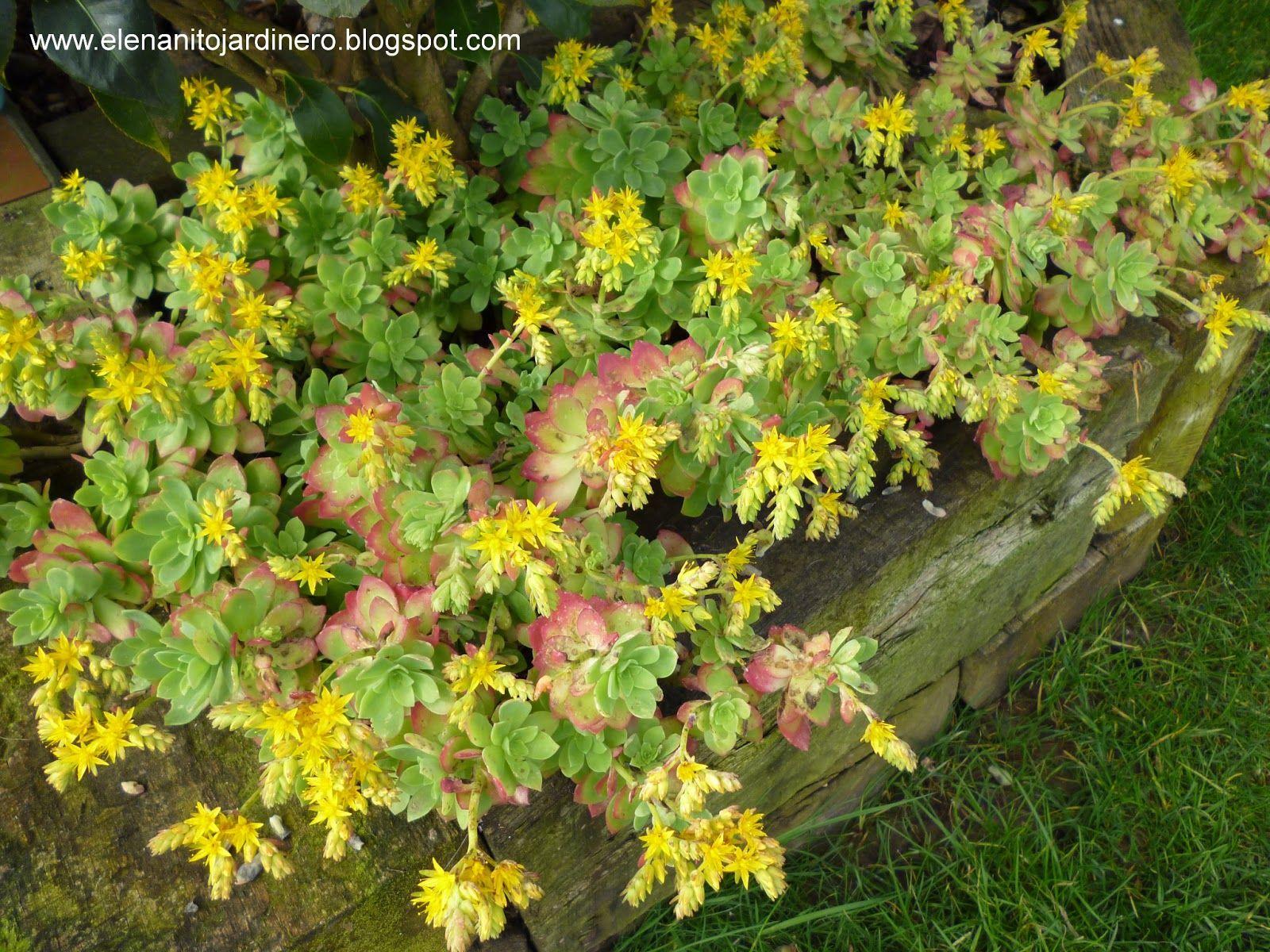 El enanito jardinero: Sedum palmeri en flor