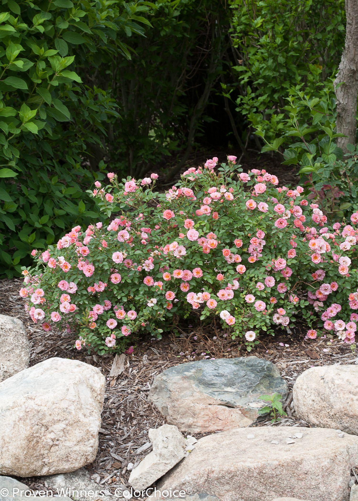 Simple Rose Garden: Oso Easy® Petit Pink - Landscape Rose - Rosa X