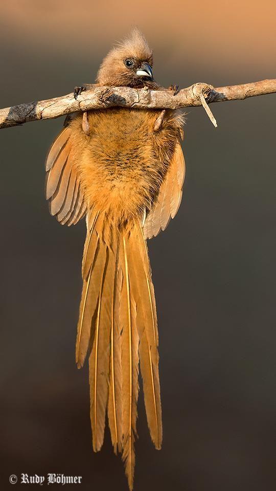 Speckled Mousebird Gevlekte Muisvoel Fugle Billeder Sjov