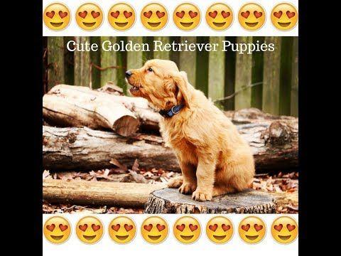 Susse Golden Retriever Welpen Video Oktober 2017 New Vol 1 Hd