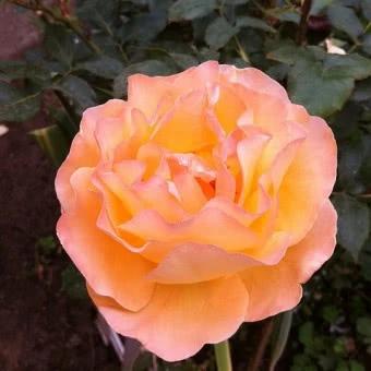Krzewy Ozdobne Do Ogrodu Katalog Roslin Zielony Ogrodek Strona 4 Flowers Plants Rose