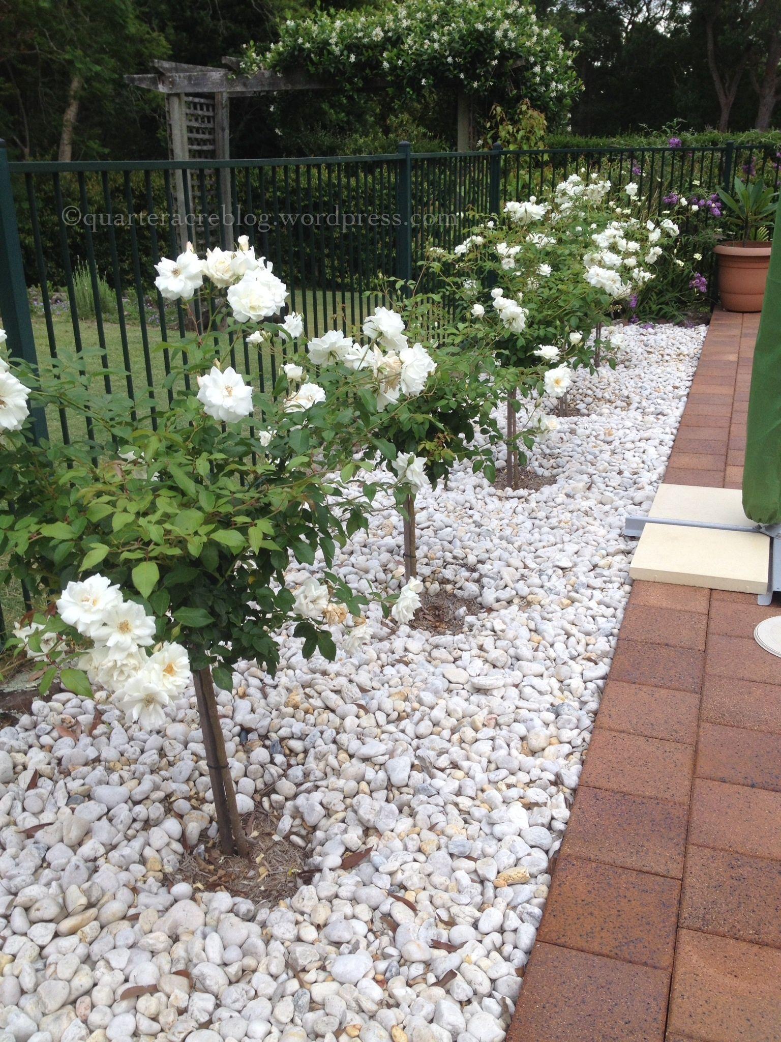 Iceberg Standard Roses Rose Garden Design Front Yard