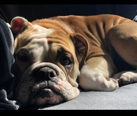 Lost Dog Ramsey English bulldog/mix Female Date Lost