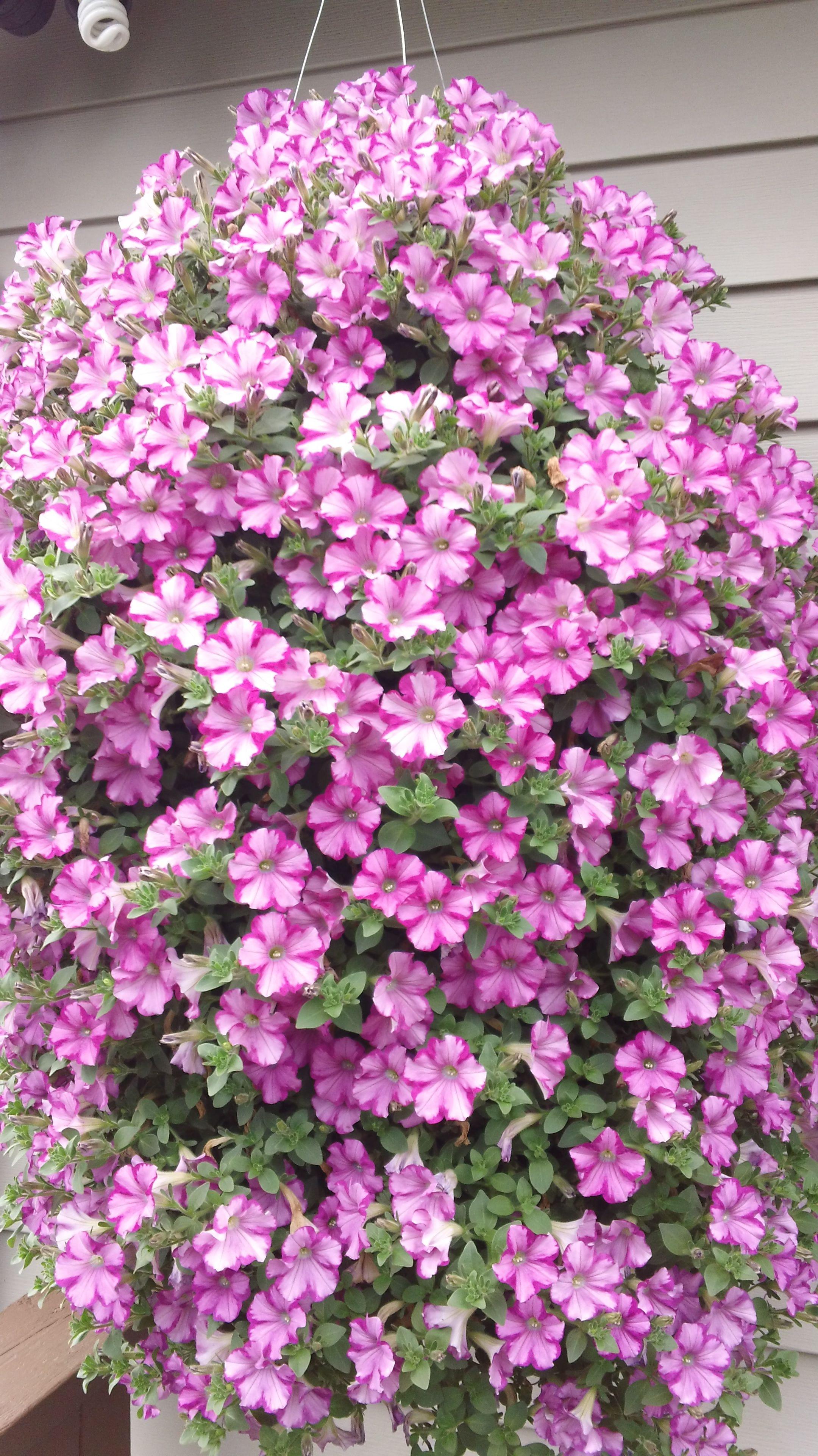 raspberry blast petunia hanging basket