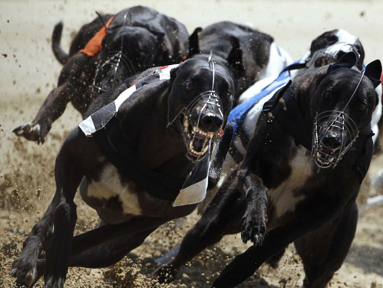 - Dog race -