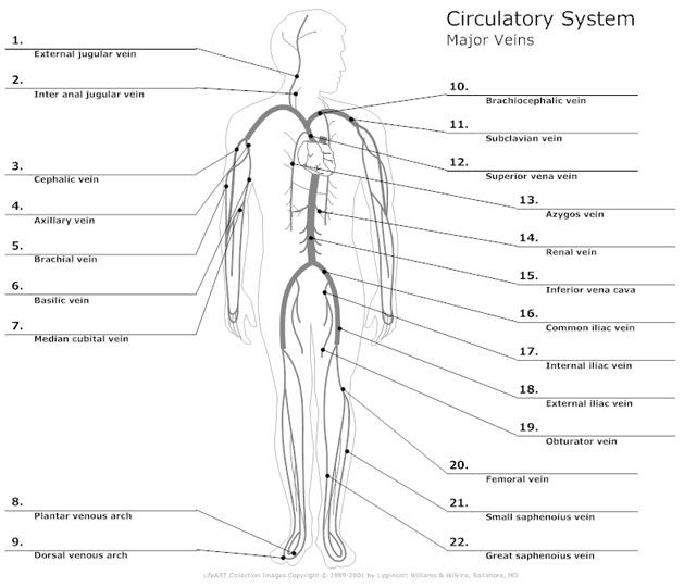 Systemic Circulation Diagram Circulatory System