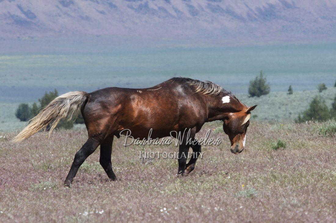 South Steens Wild Horses B154206