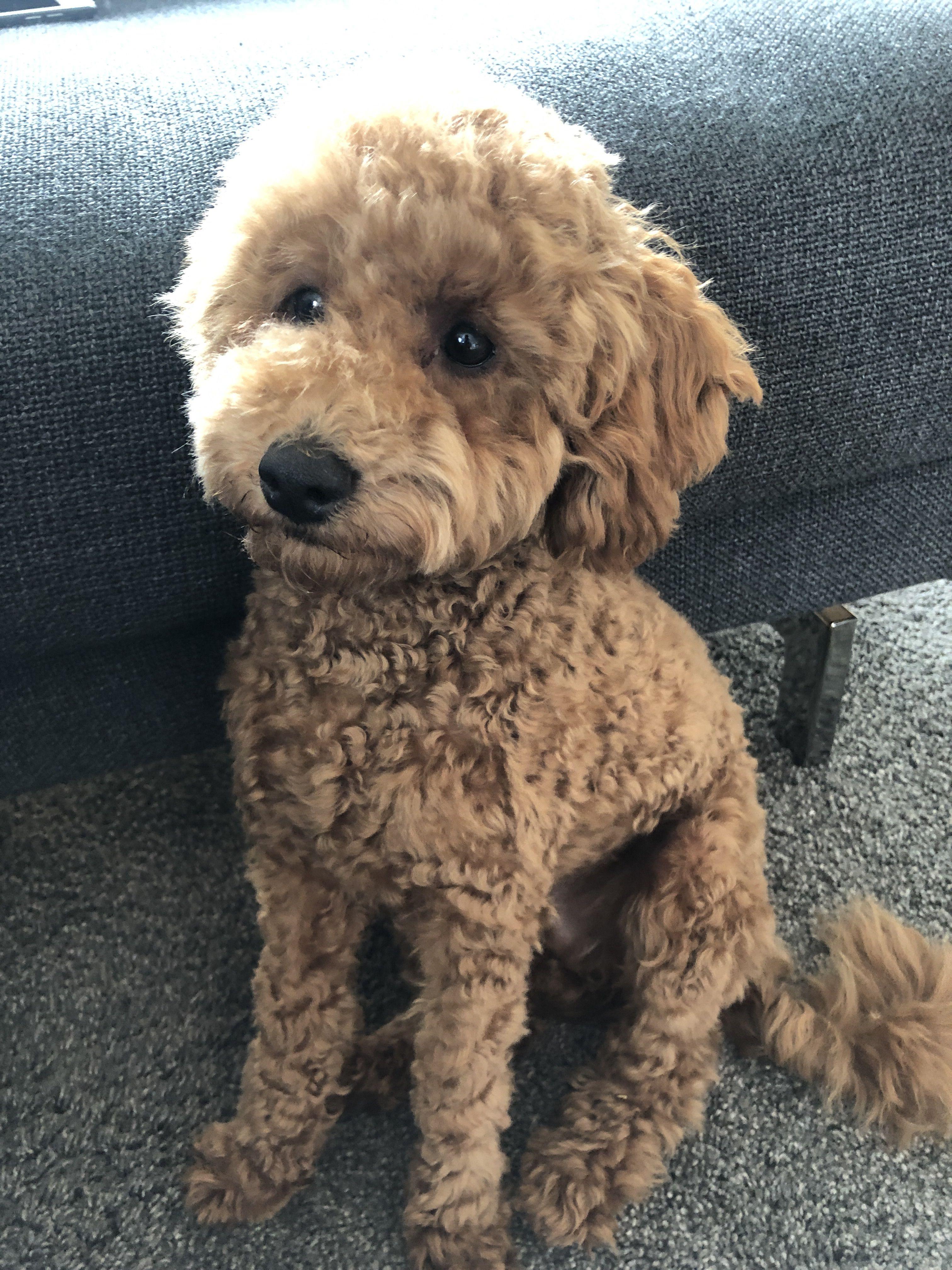Moki Der Pudel Frisch Geschoren 22 Wochen Miniature Poodle Puppies Cockapoo